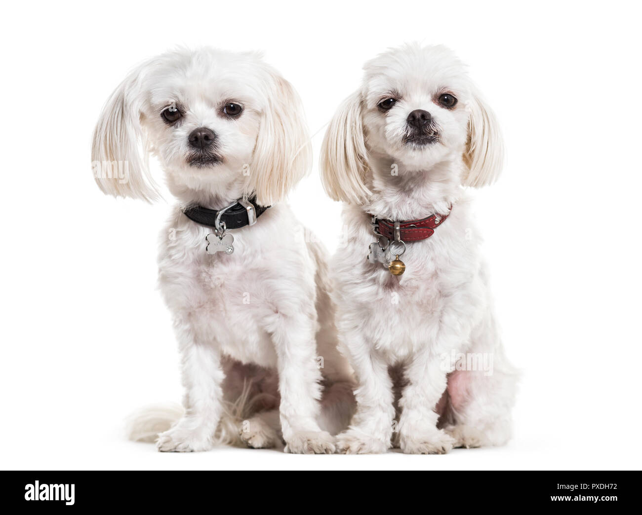 Maltese Dogs 4 Years Old Sitting Against White Background Stock Photo Alamy