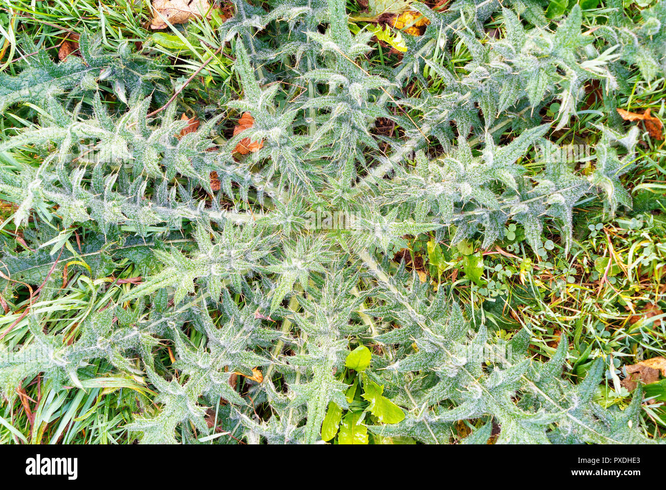 Large prickly thistle plant - Stock Image
