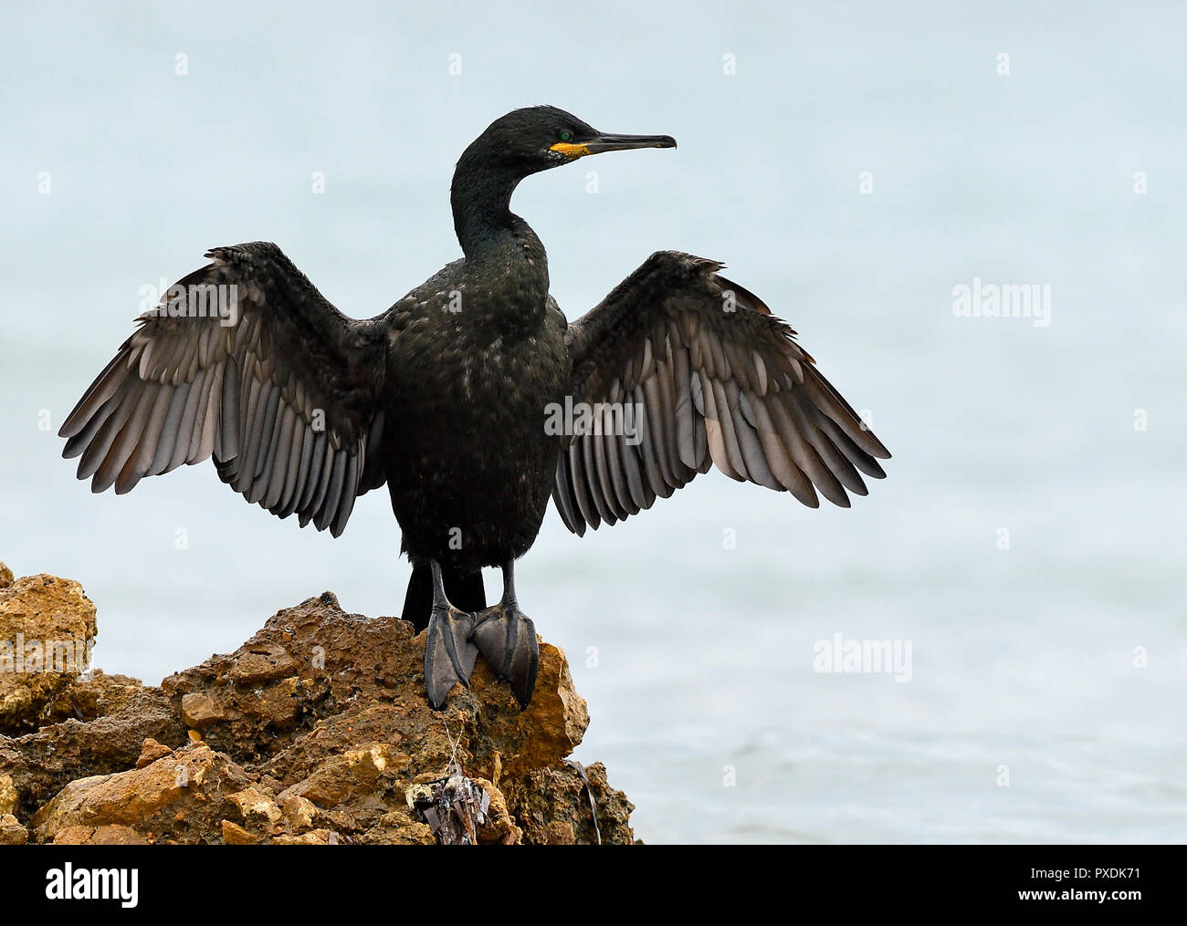 A great cormorant in Alicante - Stock Image