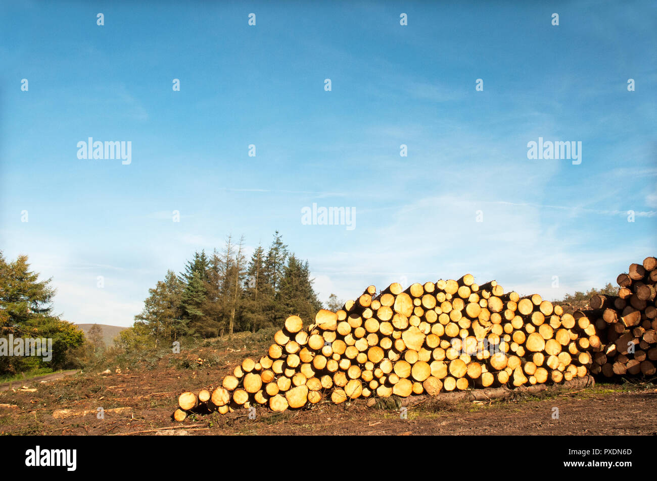 Stacks of cut up tree trunks after being felled due to being unsafe after lots of high winds. Will be recycled into other projects within the park. - Stock Image