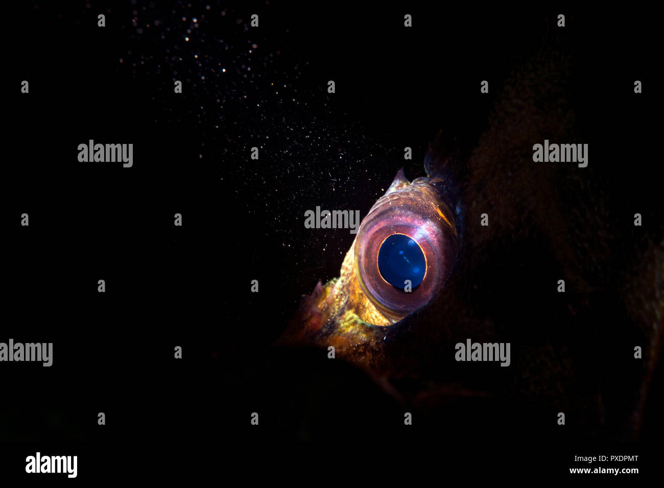 Using special limited beam snoot lighting, the eye of a tree fish in California's Channel Islands provides a moody look to an otherwise common fish sp - Stock Image