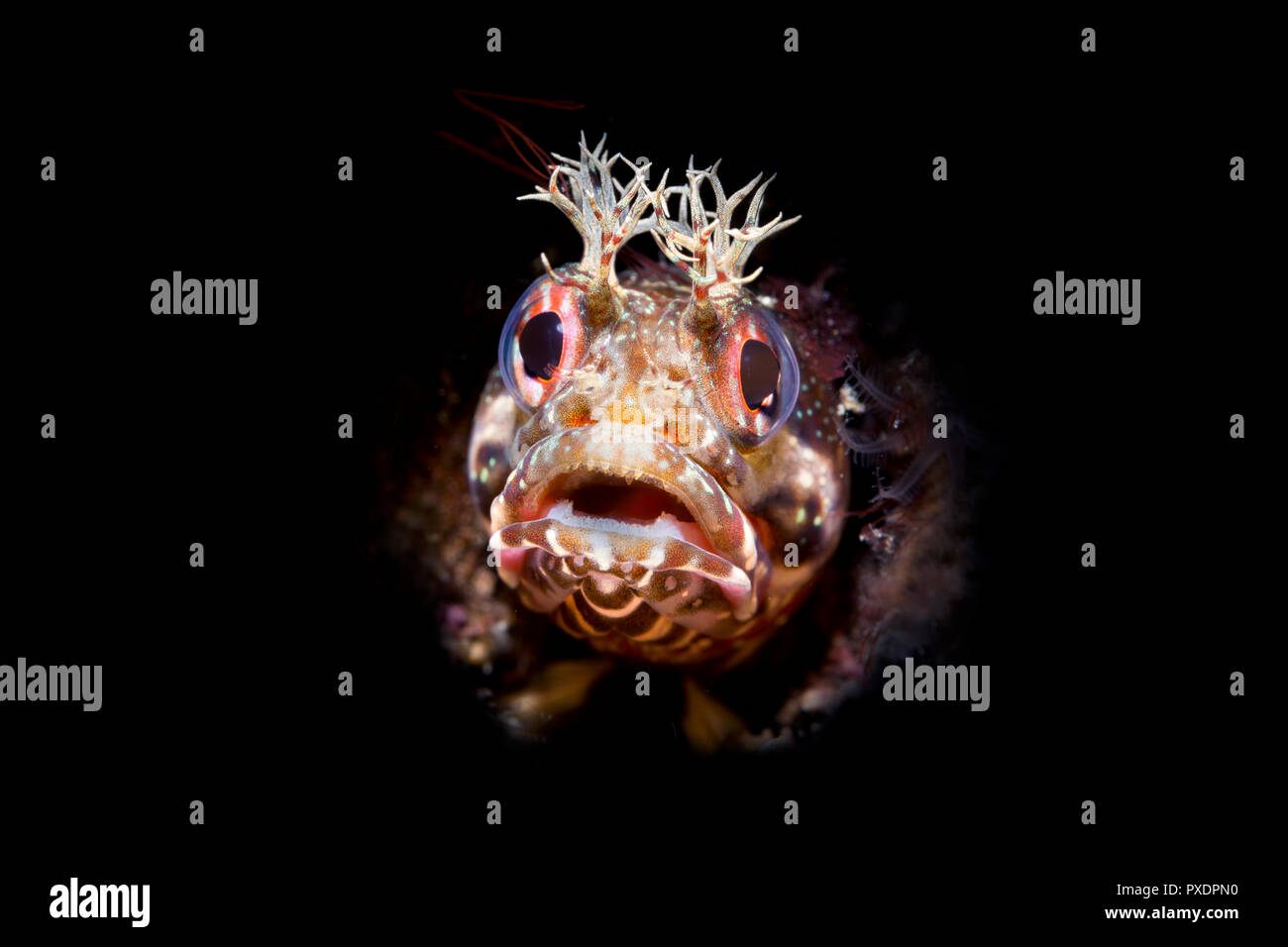 Using special limited beam snoot lighting, I captured this tiny fringe head blenny peering out of a small tube for which the fish lives. - Stock Image