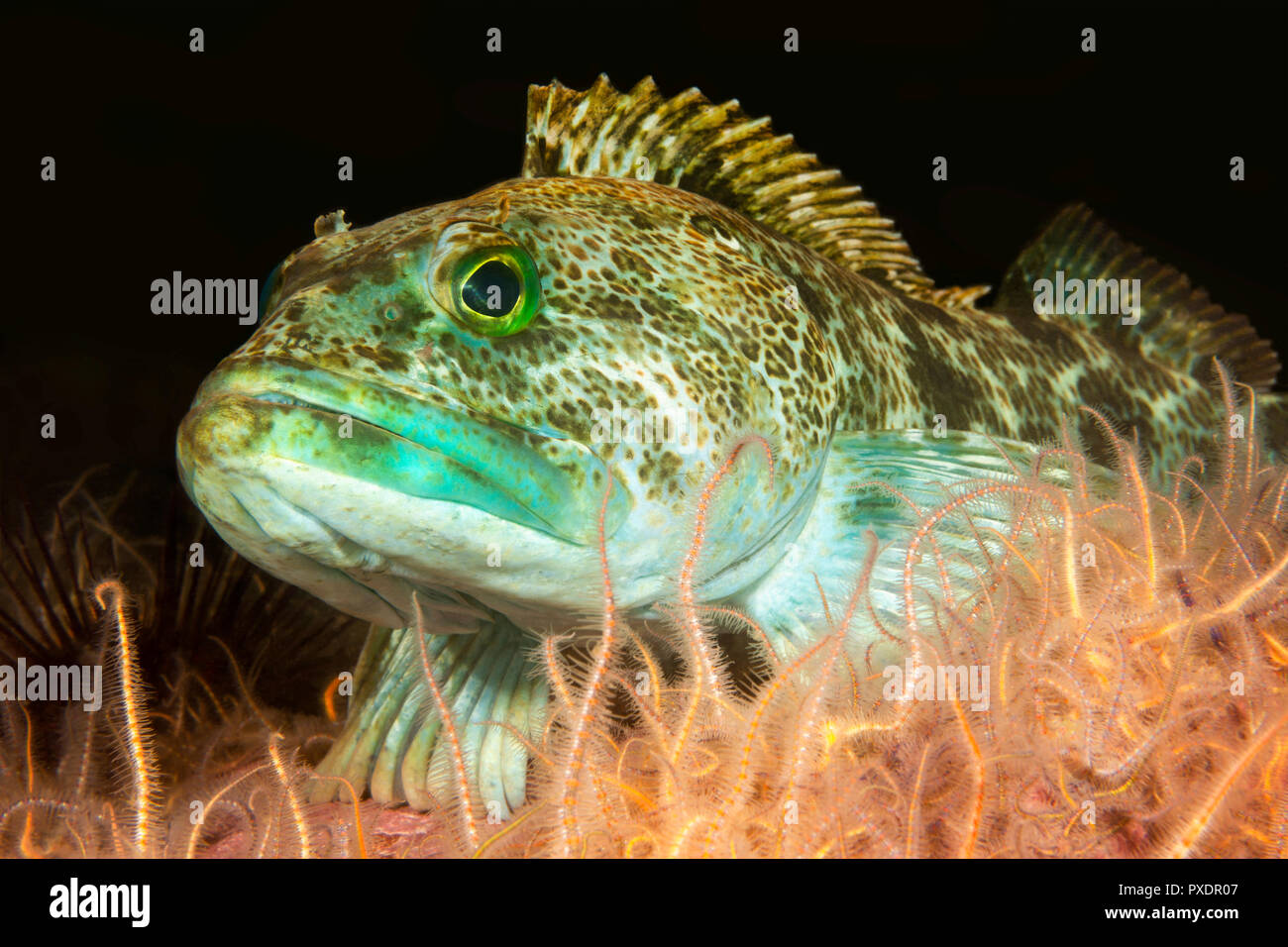 A green lingcod rests in a bed of brittle stars in the waters of California's Channel Islands. - Stock Image
