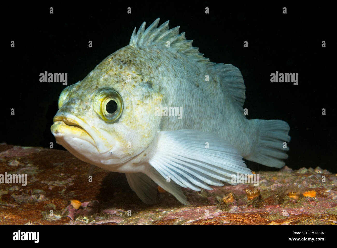 A white rockfish rests on a reef in the waters of California's Channel Islands. - Stock Image