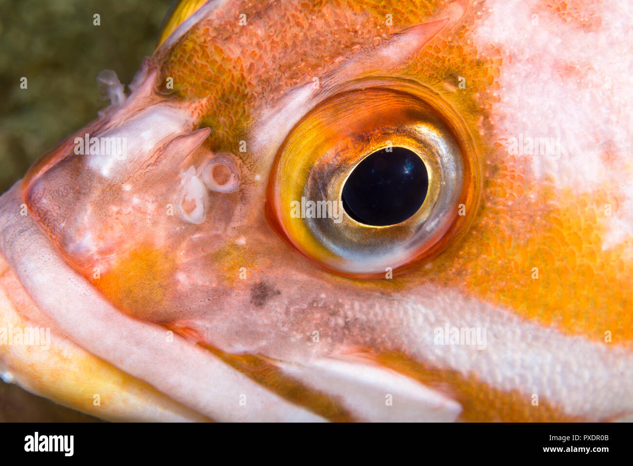 A close up of a copper rockfish face shows the detail if its eye as the fish rests on a reef in the waters of California's Channel Islands. - Stock Image