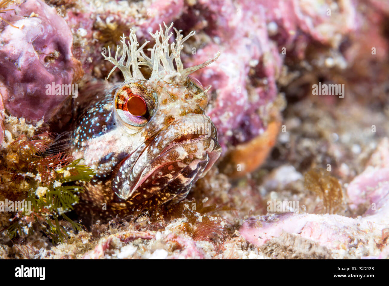 A tiny red fringe head blenny peering out of a small tube for which the fish lives. - Stock Image