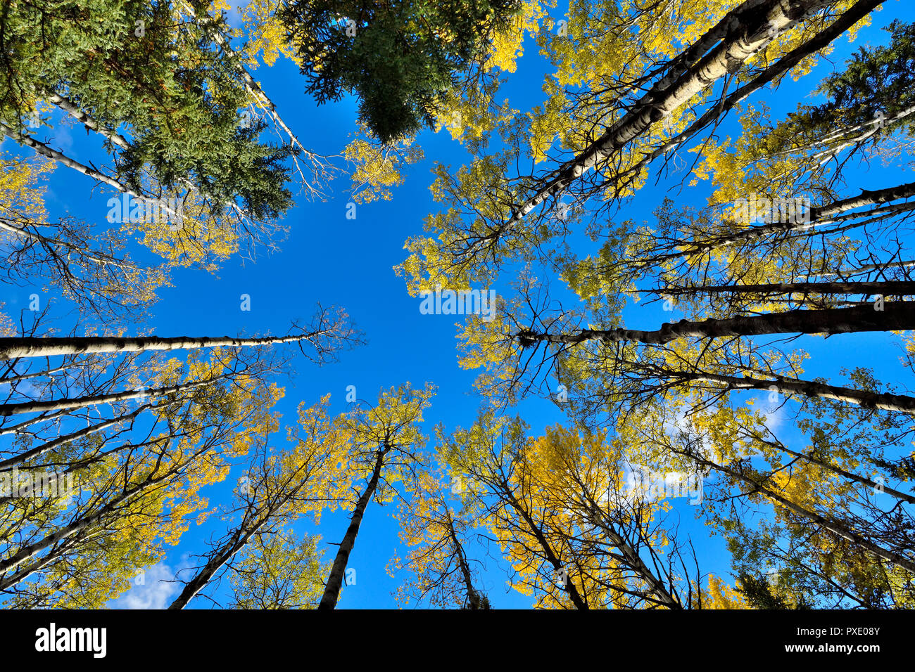 A horizontal image looking up at at the tree tops of a mixed stand of trees against a blue sky in rural Alberta Canada - Stock Image