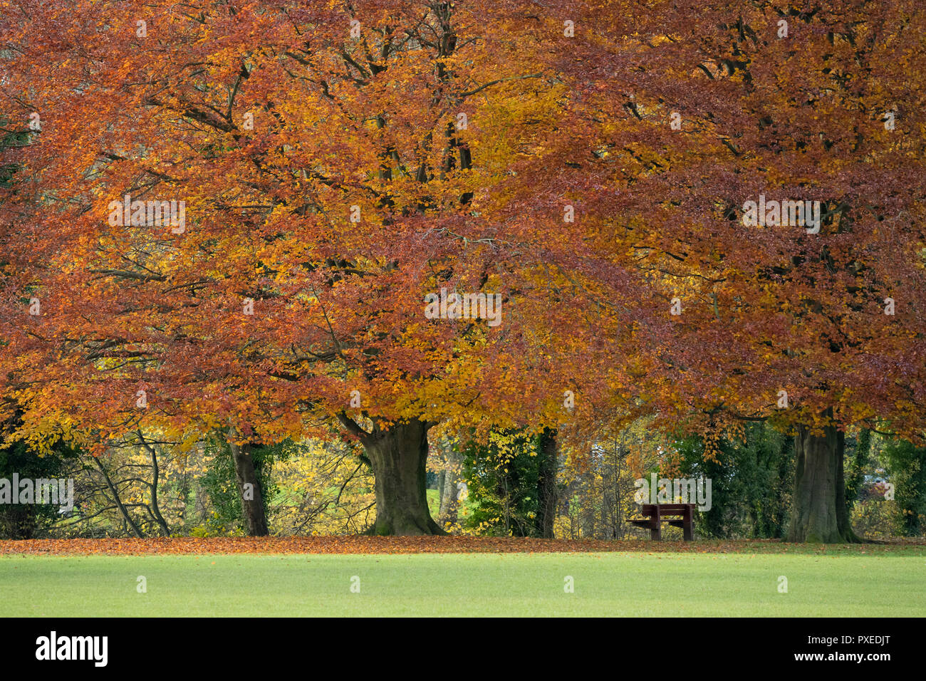 Line of enormous, spreading beech trees displaying rich autumn orange copper colours - by riverside, Ilkley Park, Ilkley, West Yorkshire, England, UK. - Stock Image