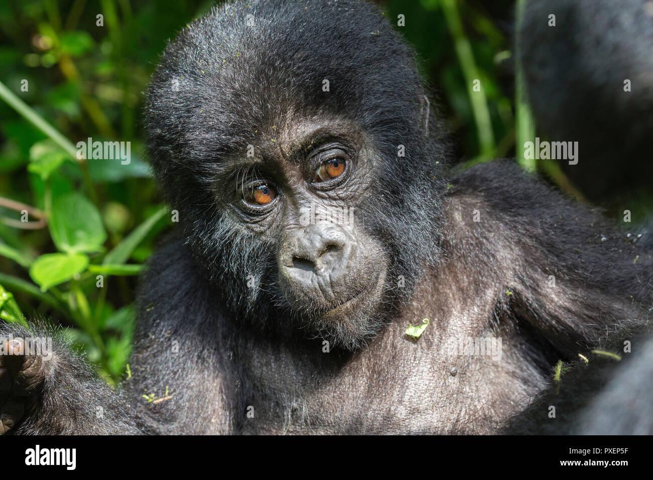 Mountain gorillas in the Bwindi Impenetrable Forest, Uganda - Stock Image