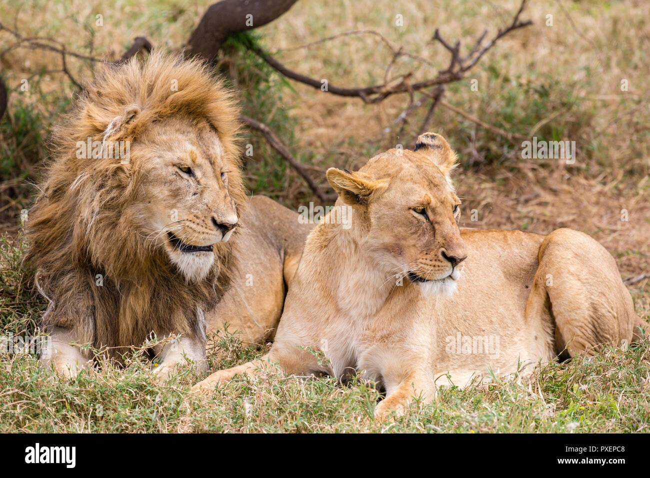 Lions in the Serengeti National Park, Tanzania Stock Photo