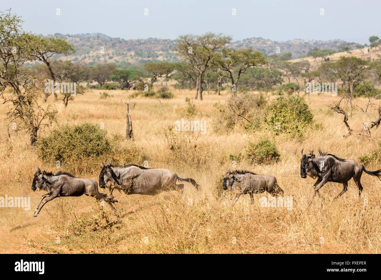 Great Wildebeest Migration in the Serengeti National Park, Tanzania - Stock Image