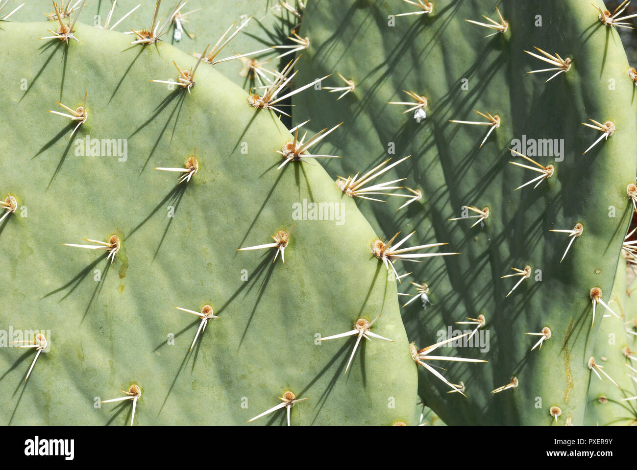 Detail showing spines of prickly pear cactus plants commonly found in the southwestern United States. - Stock Image