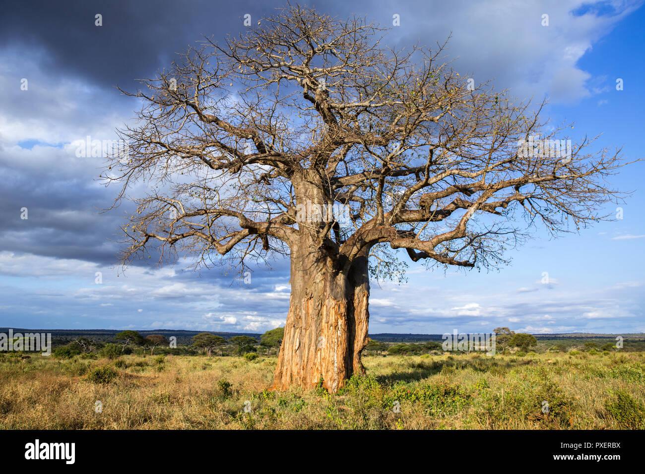 Baobob tree of Tarangire National Park, Tanzania - Stock Image