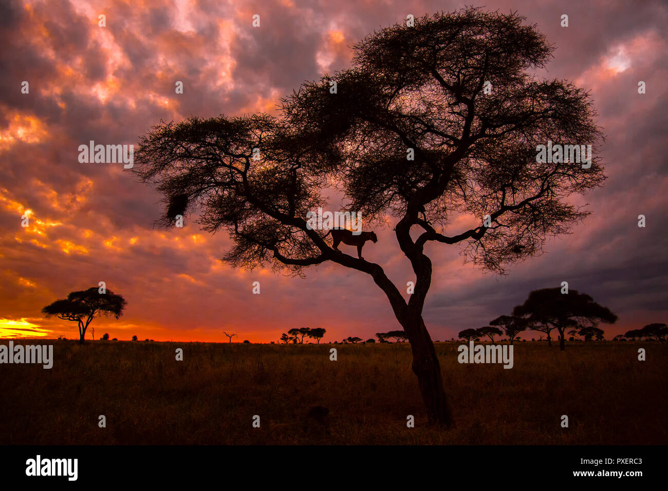 Tree-climbing lions of Tarangire National Park, Tanzania - Stock Image