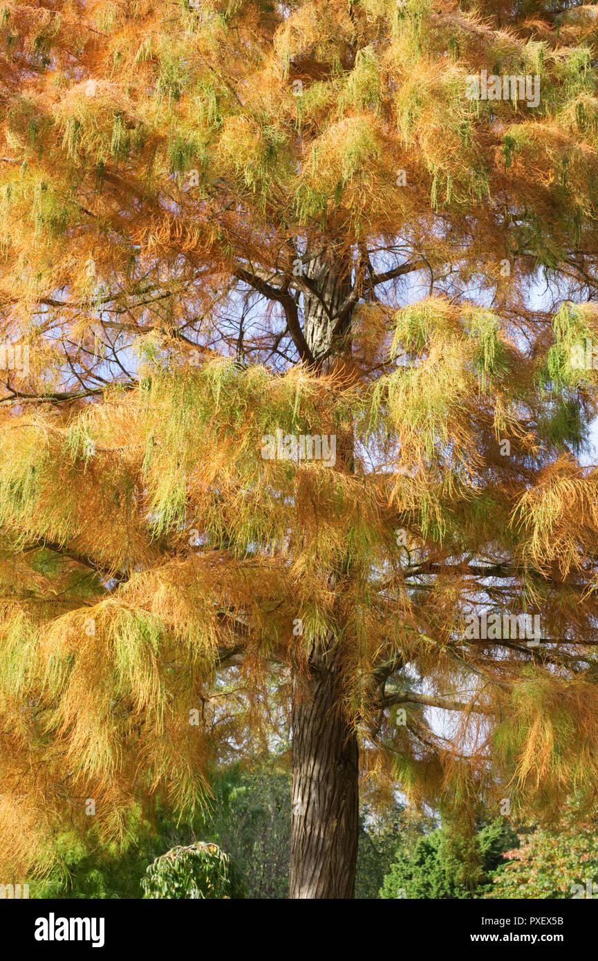 Taxodium distichum var. imbricarium 'Nutans'. Bald cypress tree in Autumn. - Stock Image