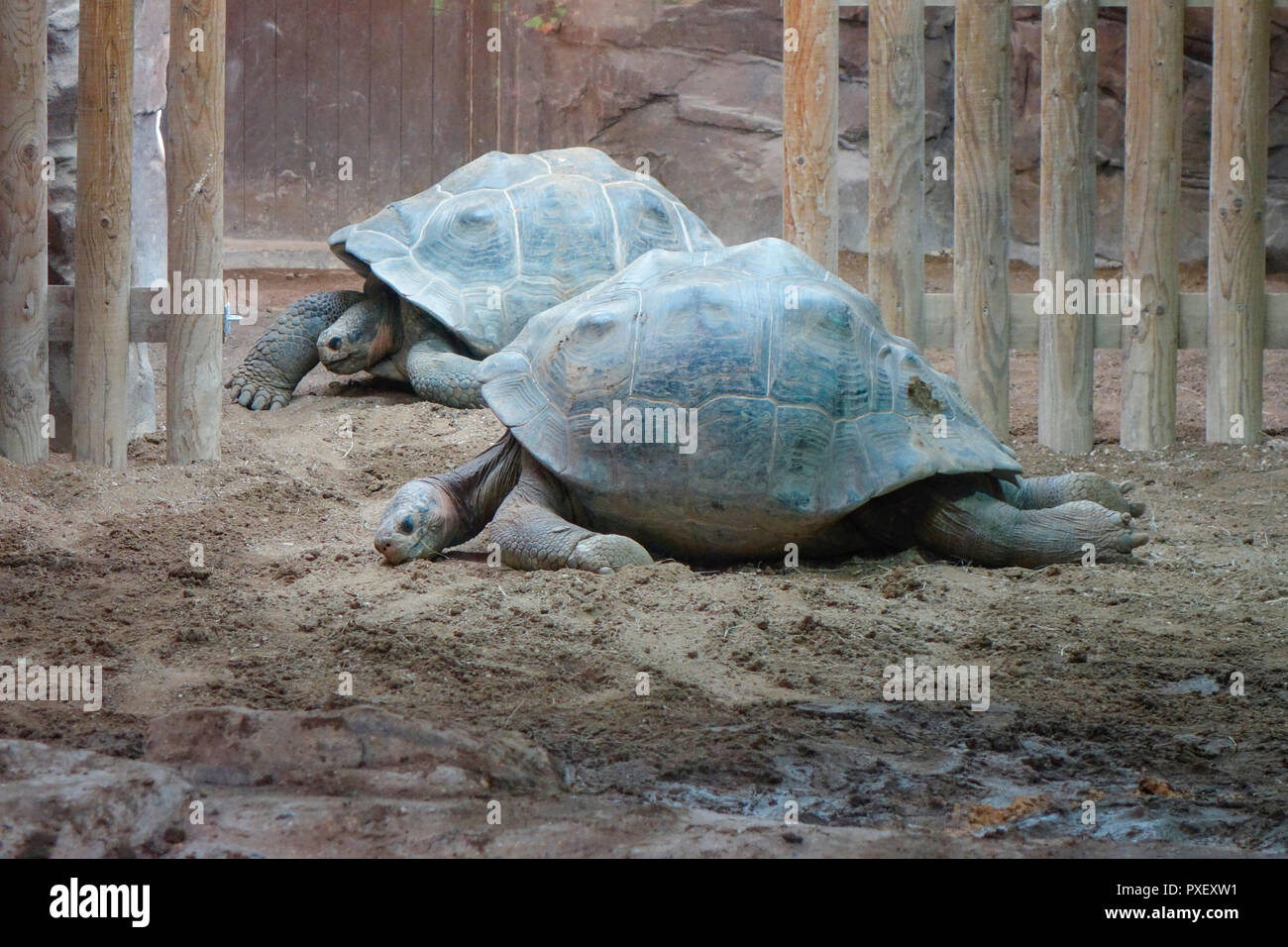 Turtles in Galapagos Turtle House (Giants of the Galápagos) at ZSL London Zoo, UK - Stock Image