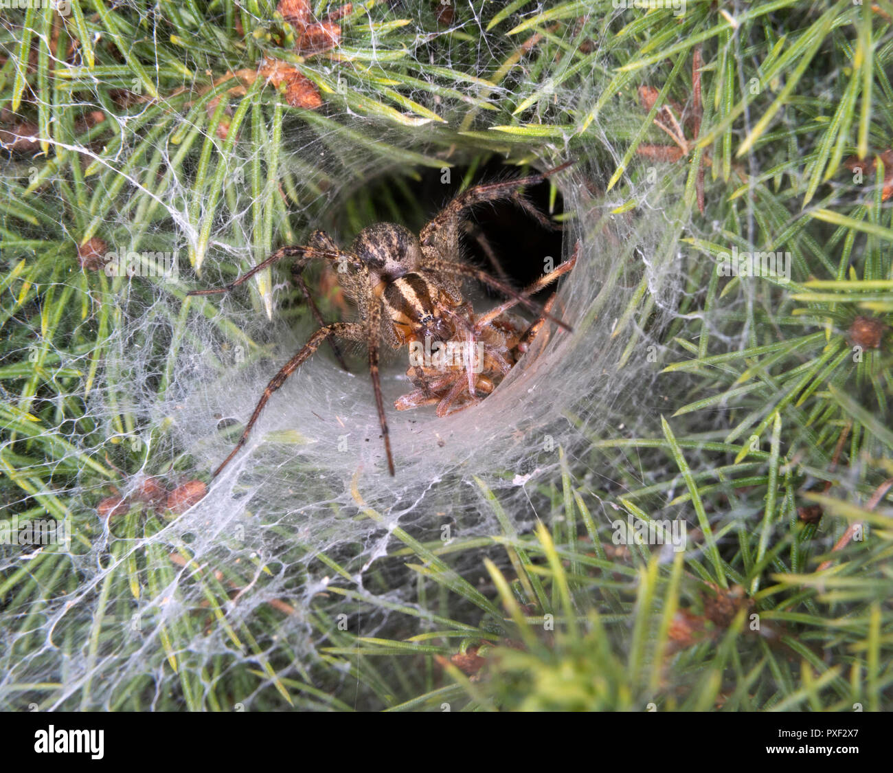Funnel-Weaver Grass Spider (Agelenopsis sp) female killing a prey at the entrance of its den at night, Iowa, USA. - Stock Image