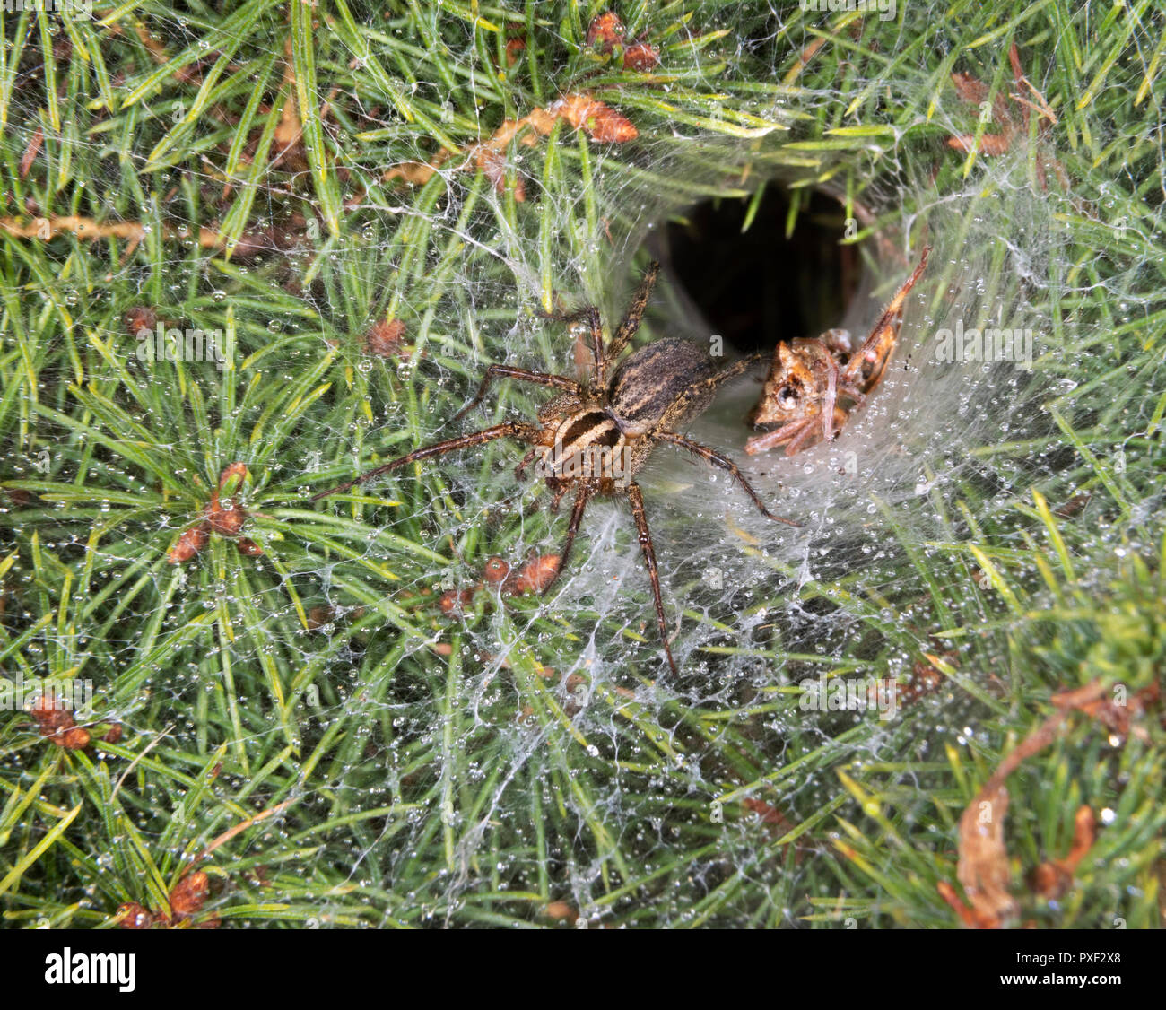 Funnel-Weaver Grass Spider (Agelenopsis sp) female drinking drops of mist at the entrance of its den at night, Iowa, USA - Stock Image