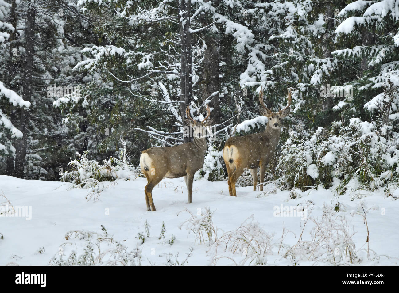 Two mule deer bucks 'Odocoileus hemionus', standing on the edge of thier forest habitat in the winters first snow in rural Alberta Canada. - Stock Image
