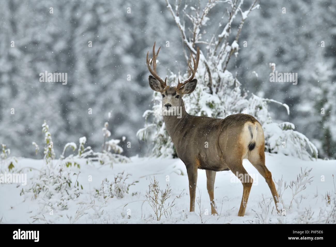 A mature male mule deer 'Odocoileus hemionus'; standing looking back in the freshly falling snow in rural Alberta Canada. - Stock Image
