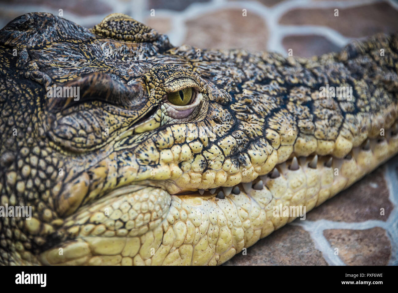 Crocodile head close-up of eyes and teeth. - Stock Image
