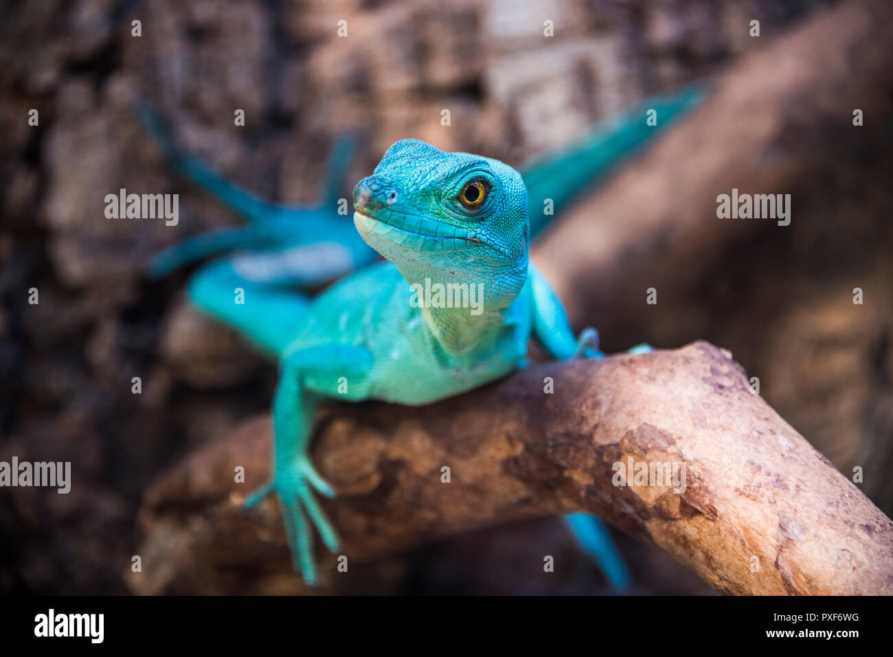 Green basilisk lizard in zoological garden close-up on a branch Stock Photo