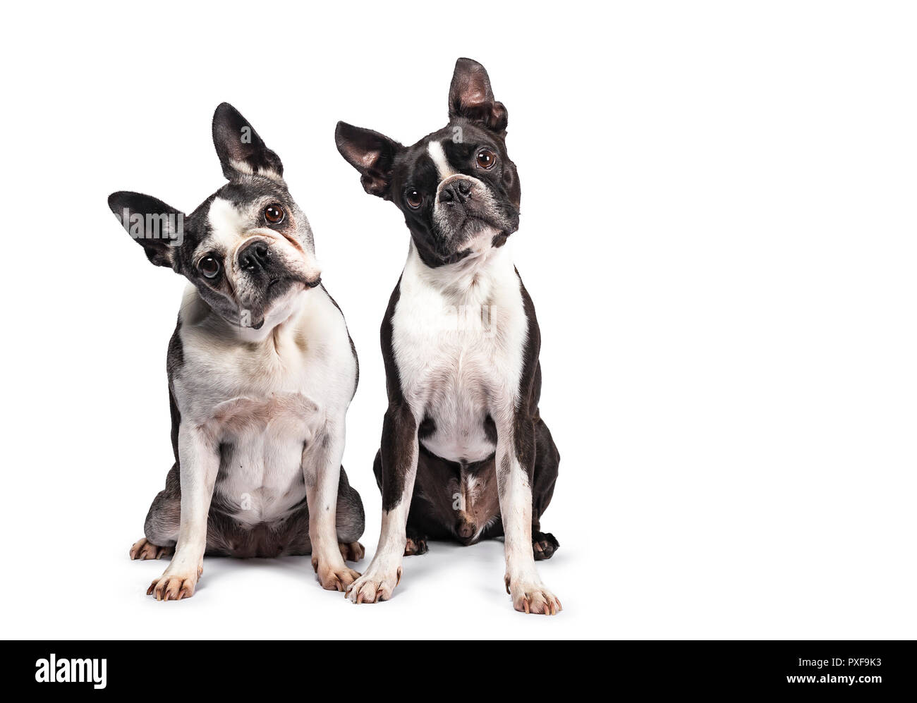 Funny duo of two black and white Boston Terriers sitting beside eachother, looking to camera with tilted heads, isolated on white background - Stock Image