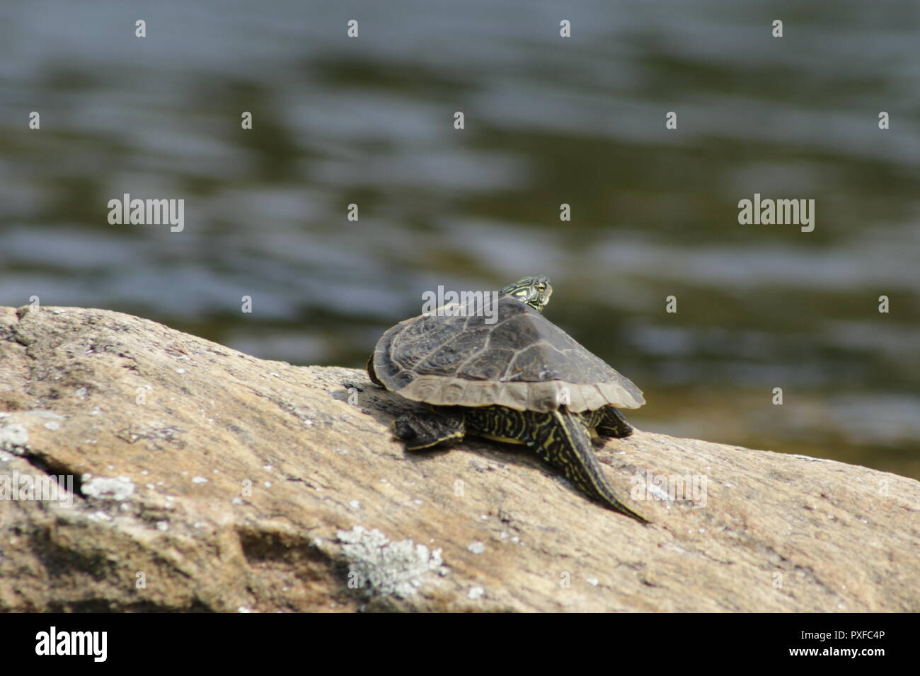 Northern Map Turtle listed as special concern in the species at risk act in Canada. - Stock Image