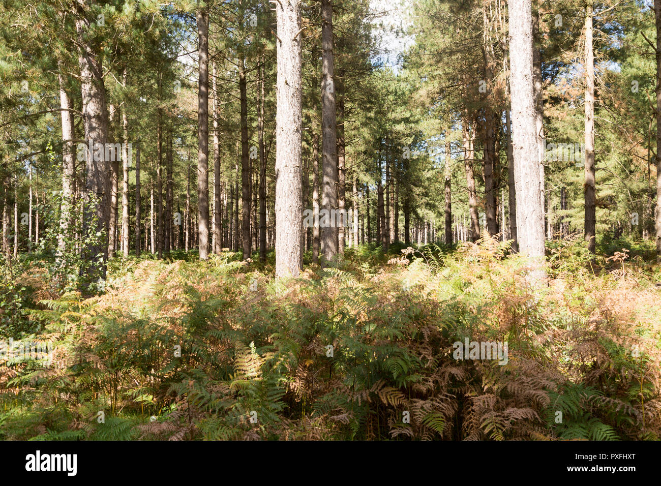 Rows of coniferous pine trees in forestry plantation, Rendlesham Forest, Suffolk, England, UK - Stock Image