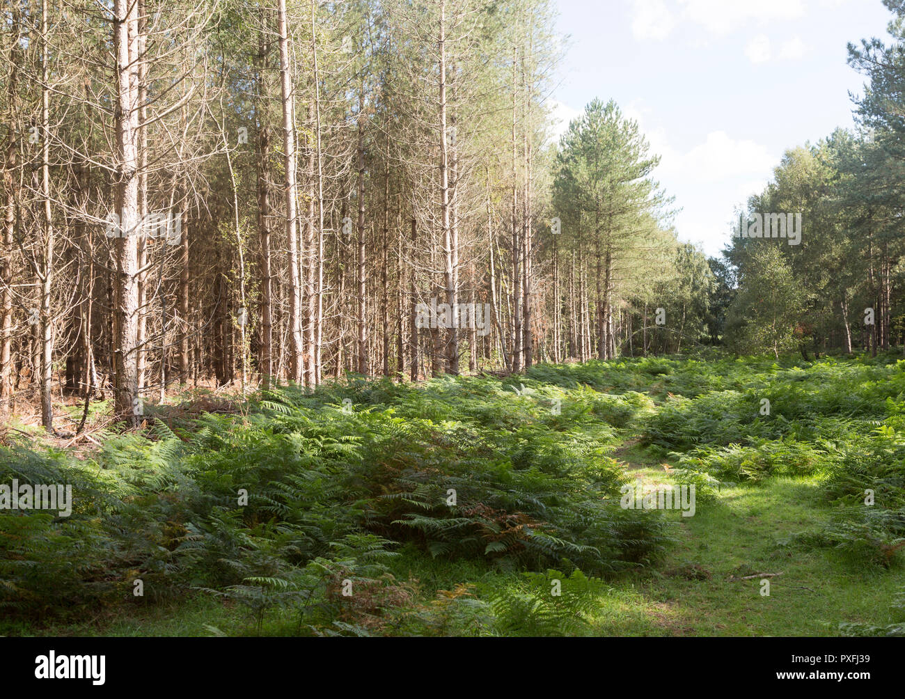 Coniferous pine trees in forestry plantation, Rendlesham Forest, Suffolk, England, UK - Stock Image