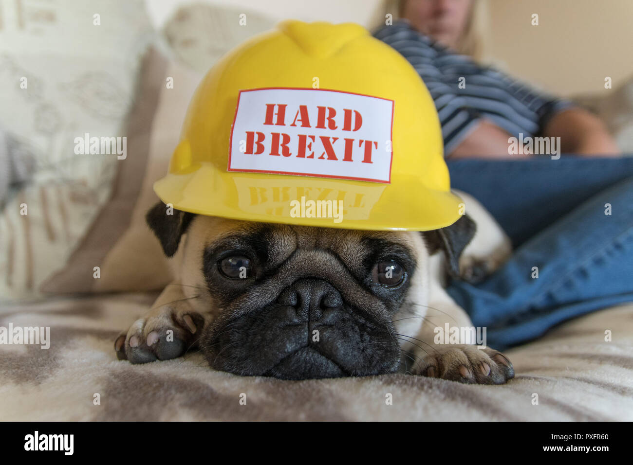 Hard Brexit Pug - wearing a safety hat with the words Hard Brexit on and looking glum - Stock Image