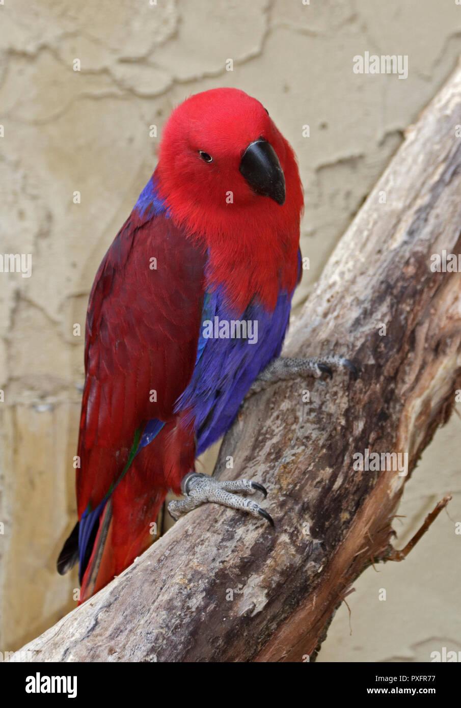 Eclectus Parrot (eclectus roratus) female Stock Photo