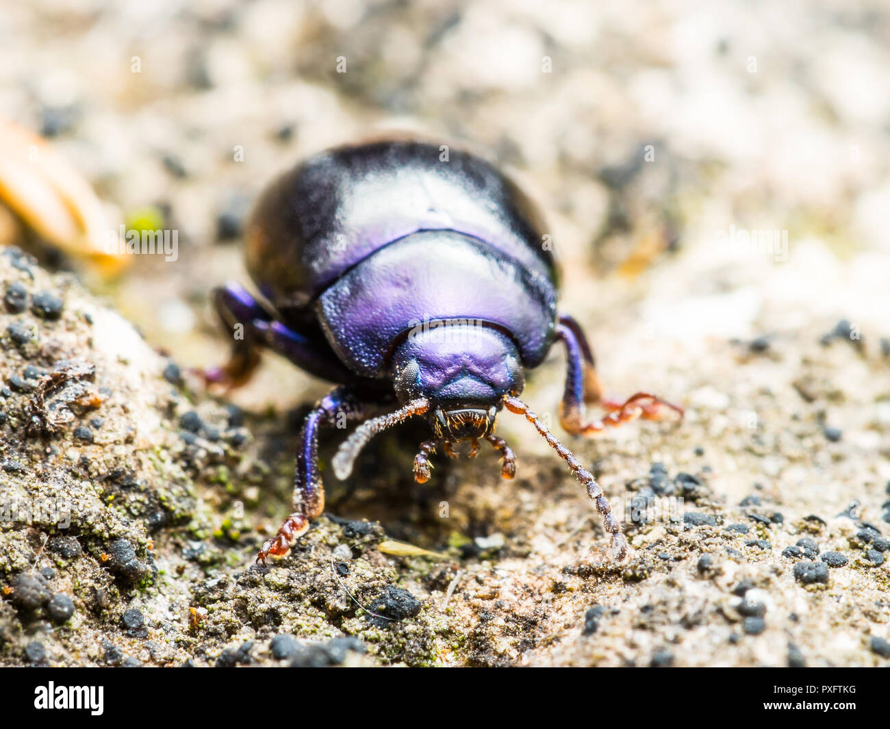 Chrysolina Coerulans Blue Mint Leaf Beetle Insect Macro - Stock Image