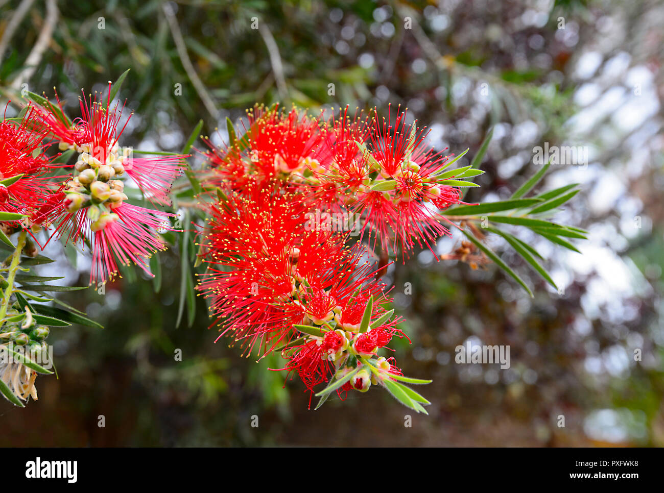 Red Bottlebrush flowers in a tropical garden, Cairns, Far North Queensland, FNQ, QLD, Australia - Stock Image