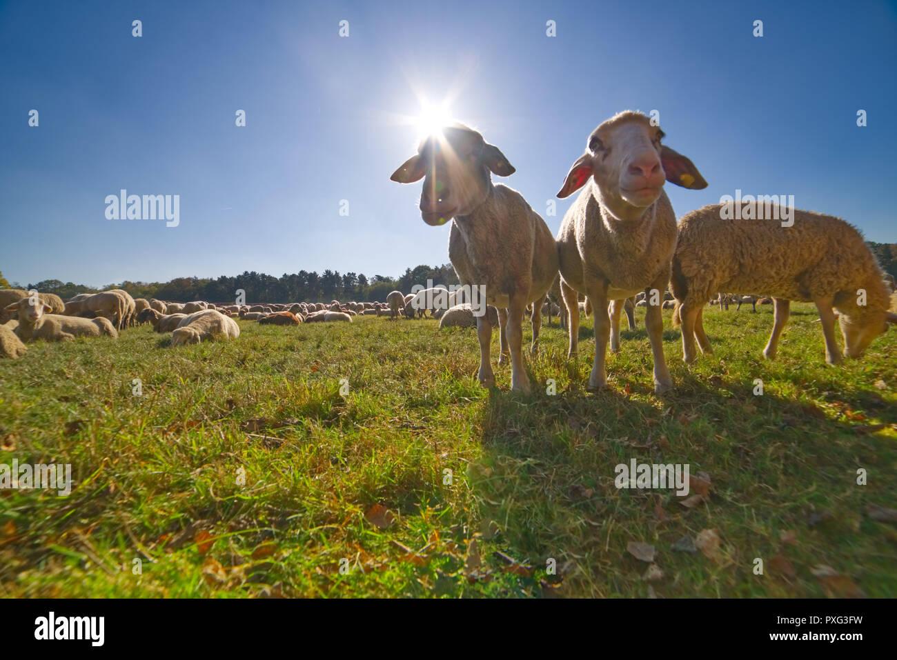 Schafe beim Weiden auf der Wiese - Schafsherde am Kalscheurer Weiher Stock Photo