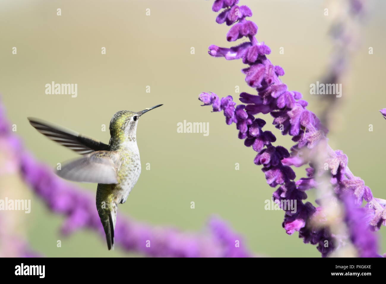 A Anna's Hummingbird feeding on nectar from a Mexican Bush Sage plant at the Audubon Canyon Ranch preserve in Marin County, CA. - Stock Image
