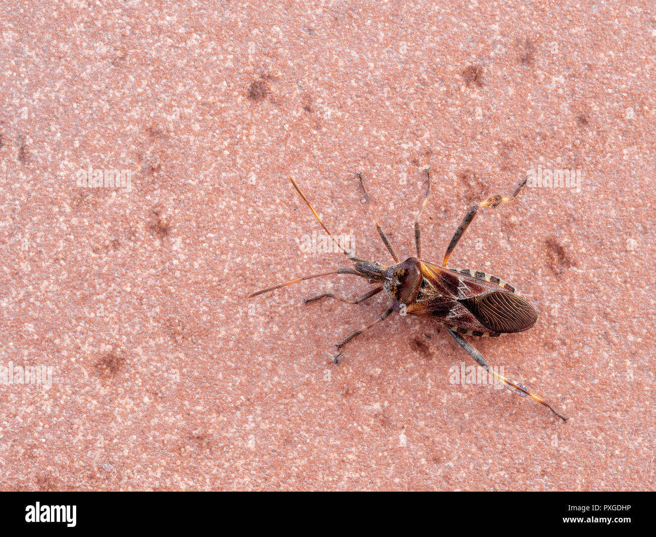 Insect pest, Western conifer seed bug, Leptoglossus occidentalis, sometimes abbreviated as WCSB. - Stock Image