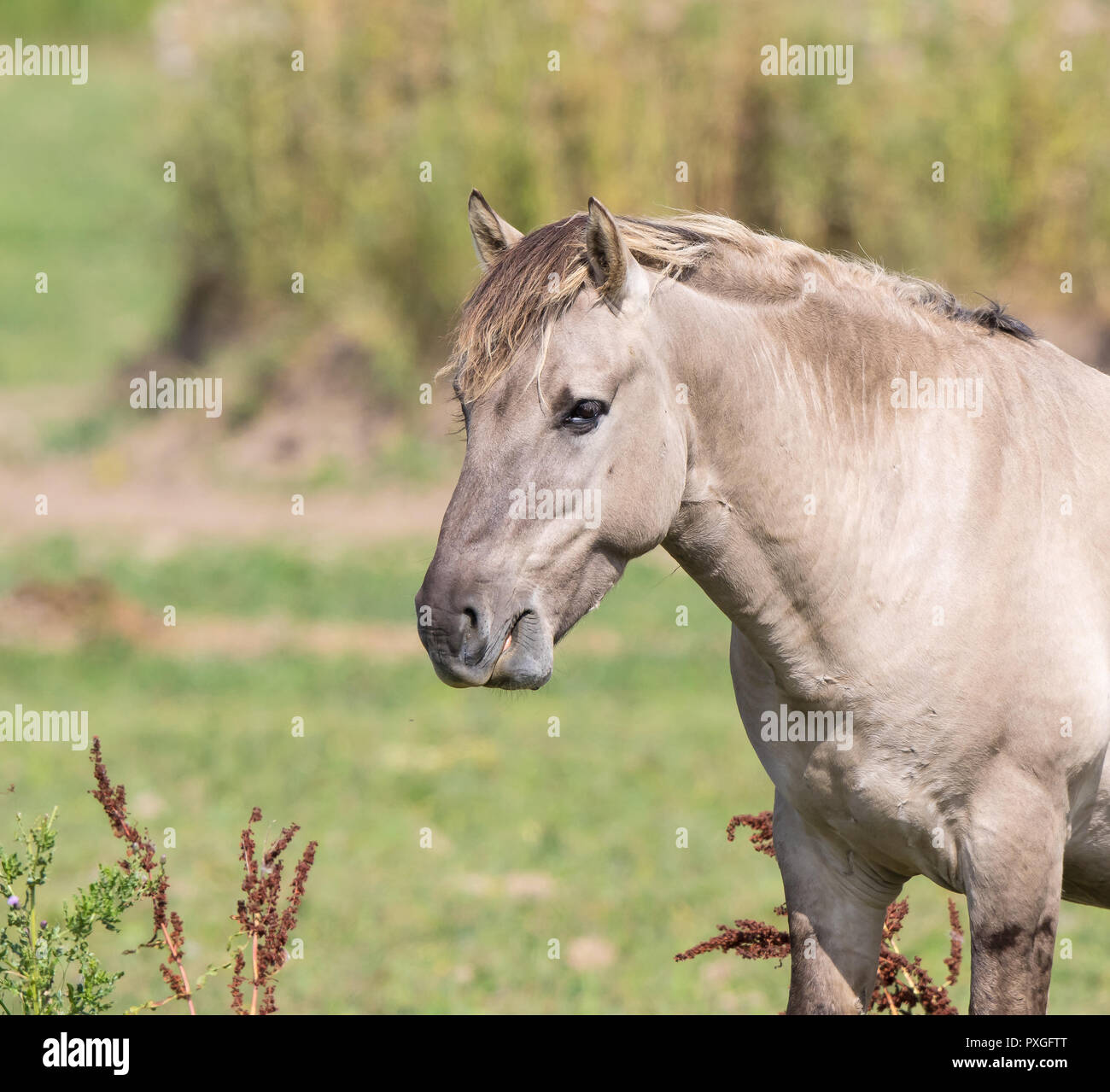 Detailed, landscape close up of grey-coloured wild horse (head & shoulders) in natural outdoors setting. Animal is on right side of image looking left. - Stock Image