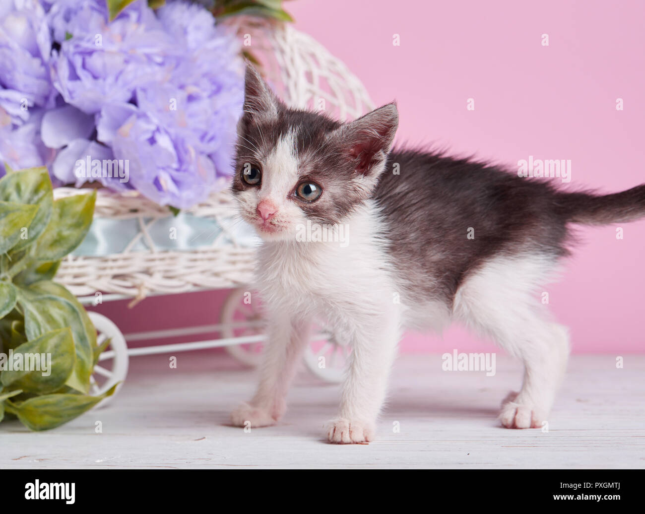 A beautiful kitty with decorations. White and gray kitten on a white table. - Stock Image
