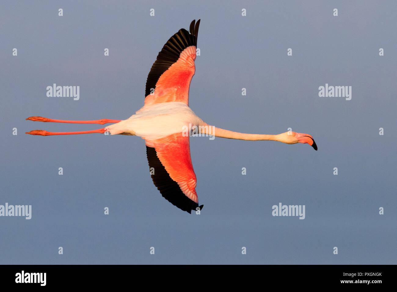 Greater Flamingo (Phoenicopterus roseus), adult in flight - Stock Image