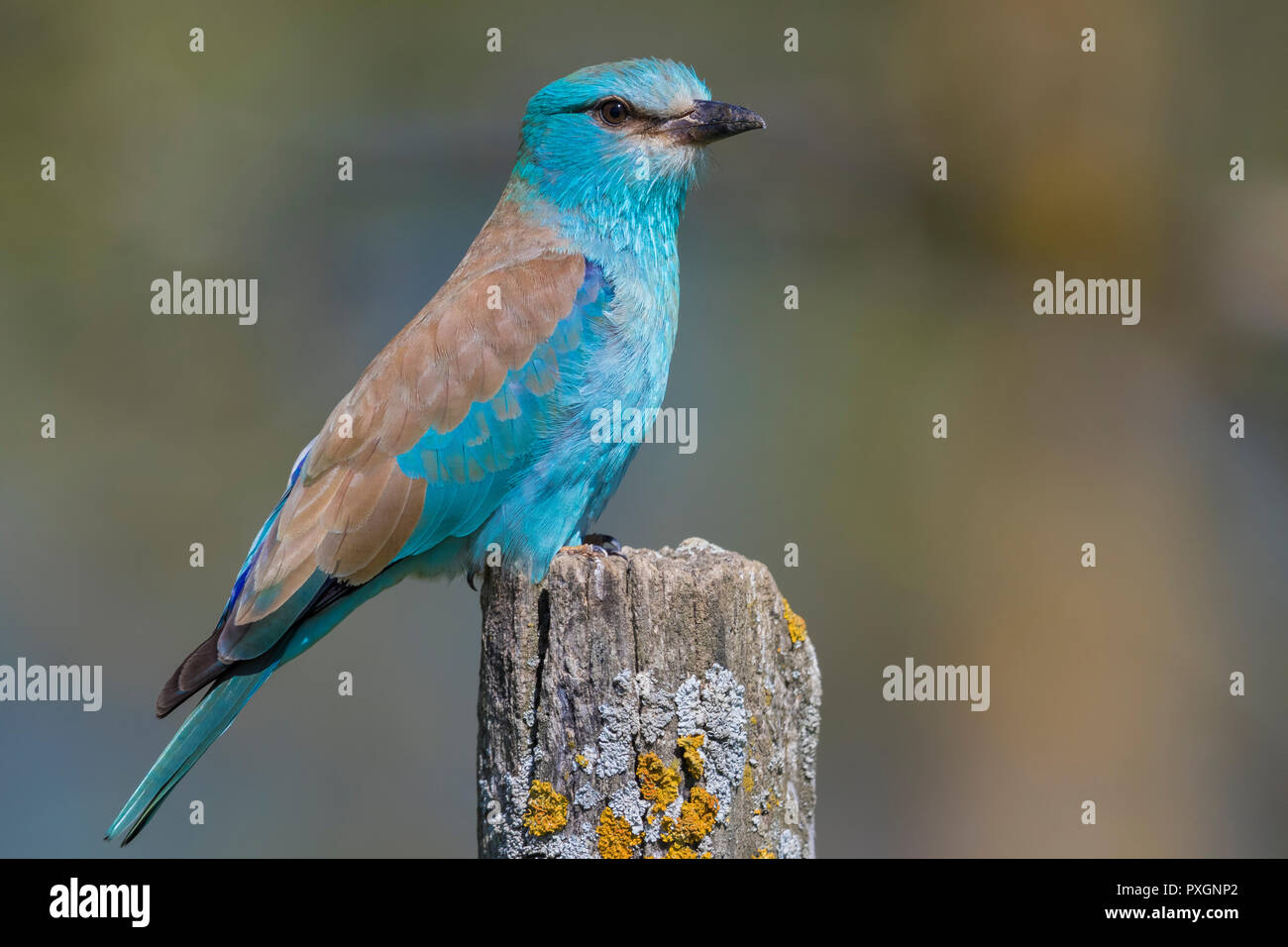 European Roller (Coracias garrulus), side view of an adult perched on a post Stock Photo