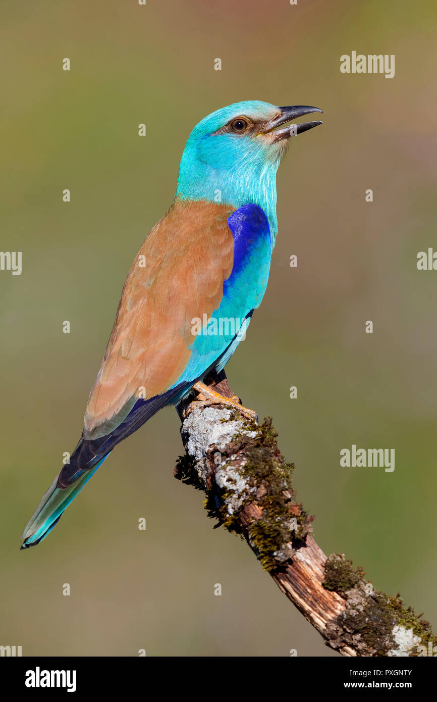 European Roller (Coracias garrulus), side view of an adult perched on a branch - Stock Image