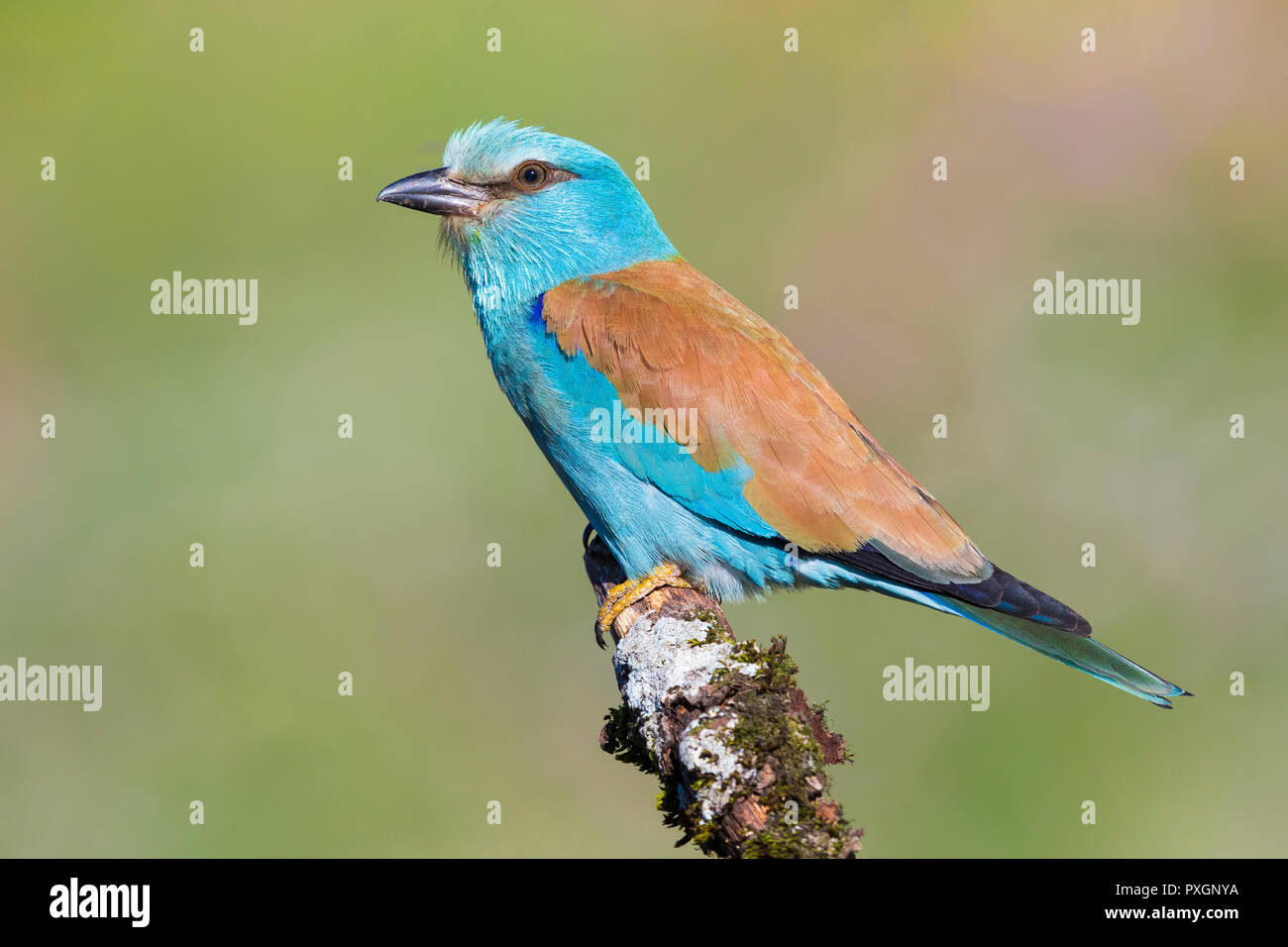European Roller (Coracias garrulus), side view of an adult perched on a branch Stock Photo