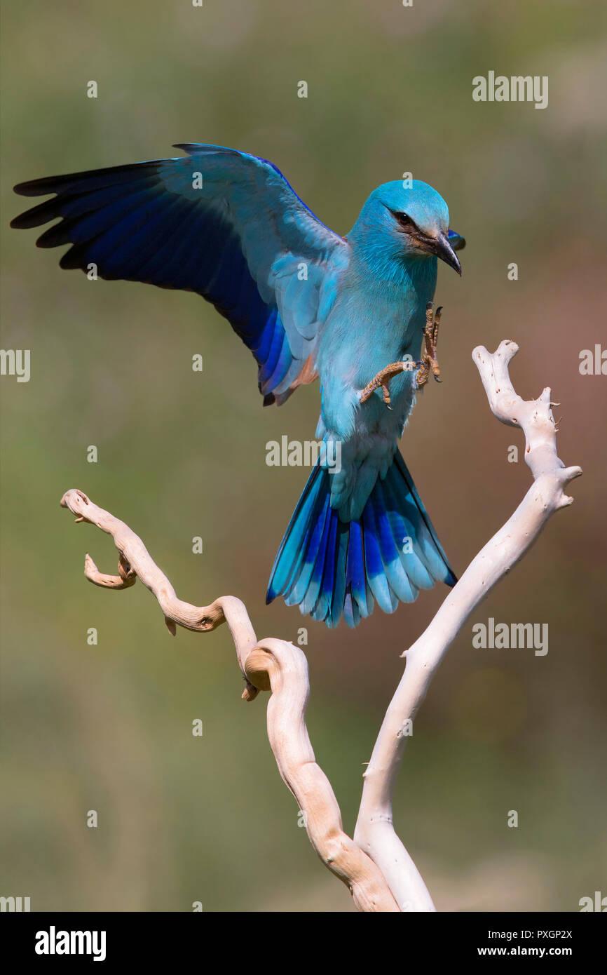 European Roller (Coracias garrulus), adult landing on a branch - Stock Image