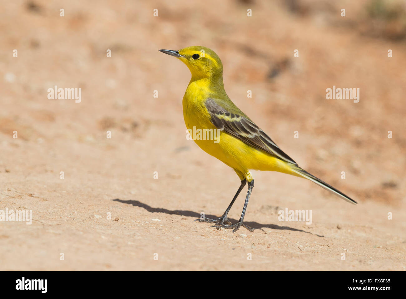 Western Yellow Wagtail (Motacilla flava flavissima), side view of an adult male standing on the ground in Morocco - Stock Image