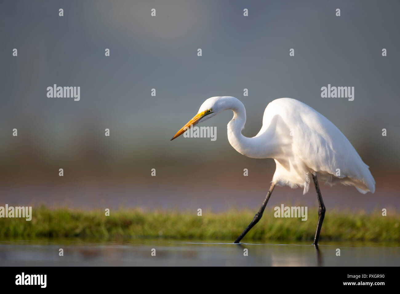 A Great Egret Ardea alba on the lookout for food in a shallow lagoon in Kwa Zulu Natal, South Africa - Stock Image