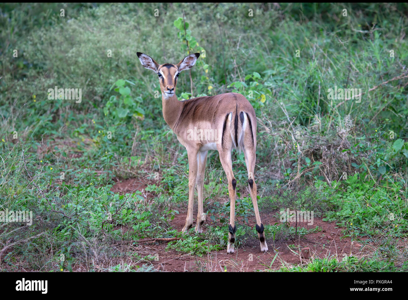 Common Impala Aepyceros melampus  looking over its shoulder in wild savanna in South Africa - Stock Image