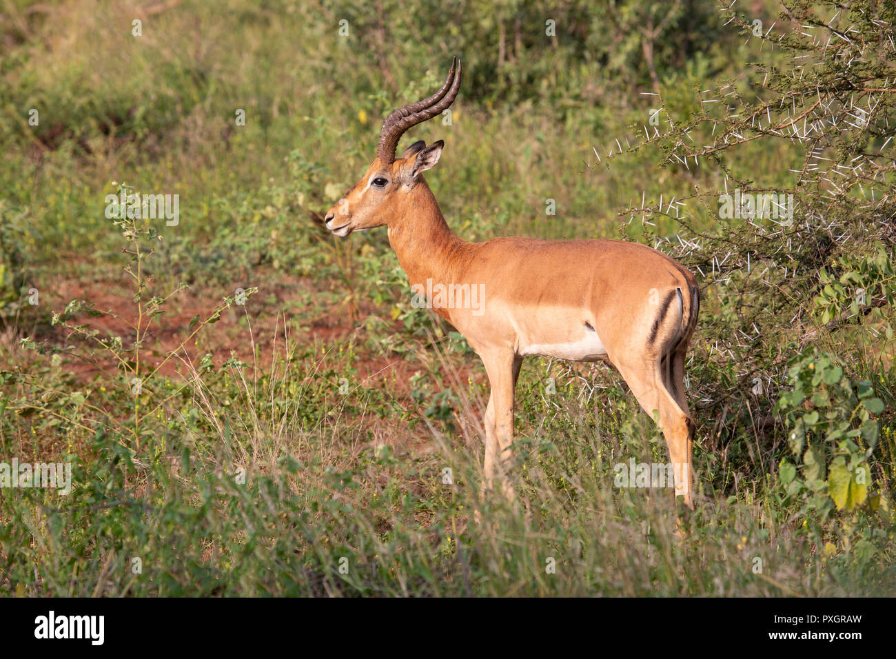 Impala Ram Aepyceros melampus in scrubland in South Africa - Stock Image