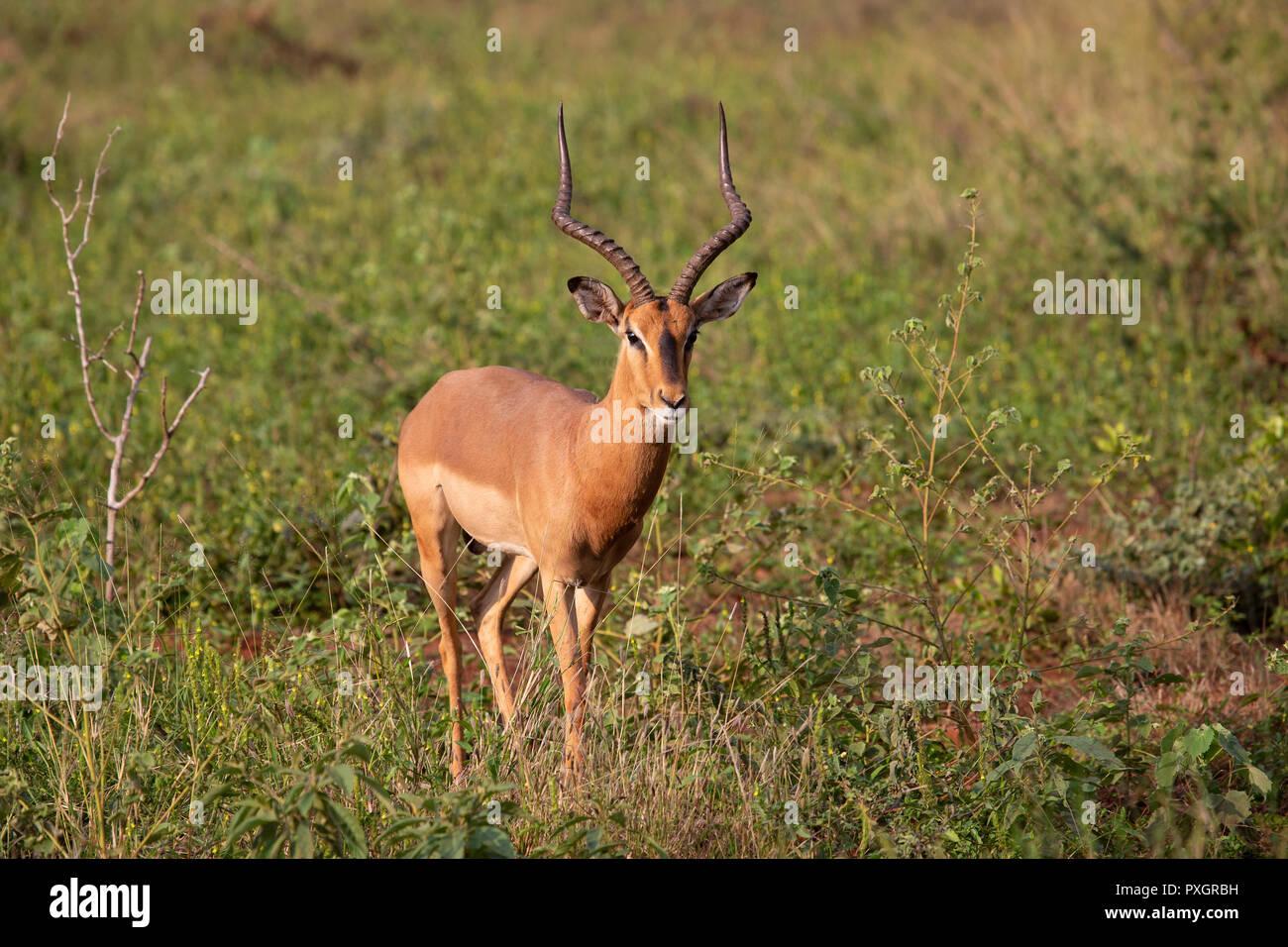 Impala Ram Aepyceros melampus in scrubland in South Africa - Stock Image