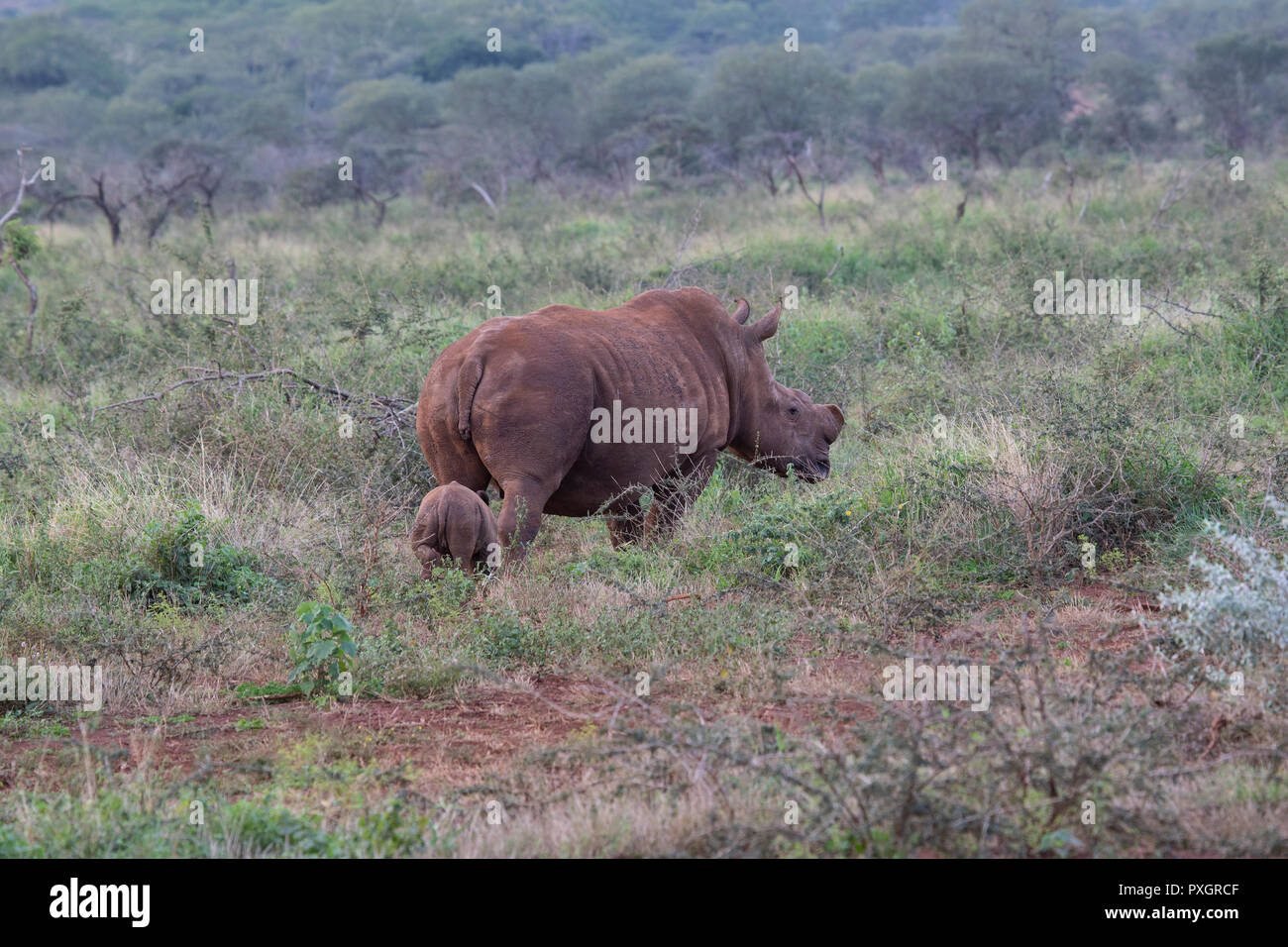 White Rhinoceros Ceratotherium simum with baby calf following in South African scrub on Zimanga Private Game Reserve Stock Photo